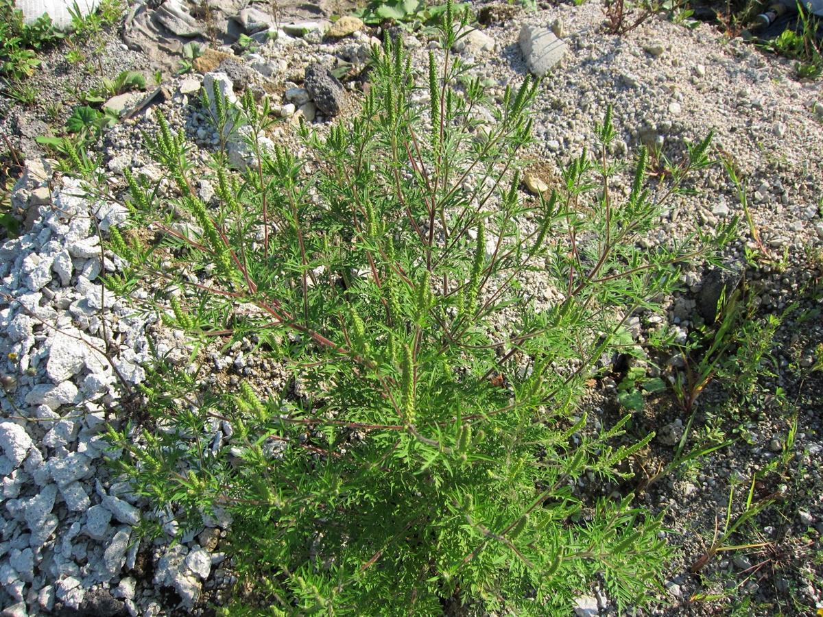 ambrozija, posamezna rastlina1